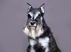 miniature schnauzer on a gray background, portrait of a dog