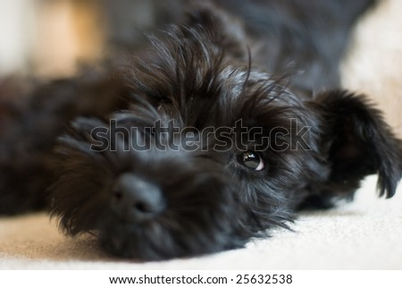 Schnauzer Puppies on Miniature Schnauzer Puppy Stock Photo 25632538   Shutterstock