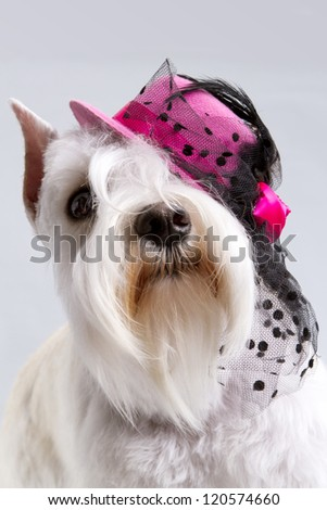 Miniature schnauzer puppy in a hat