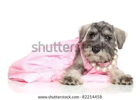 Miniature schnauzer puppy in a pink dress