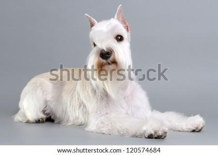 Miniature Schnauzer puppy in the background.