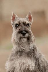 miniature schnauzer salt and pepper dog portrait close-up