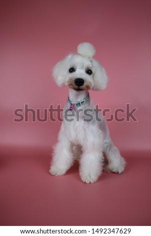 Miniature Schnauzers , Schnauzer Dog Grooming #1492347629