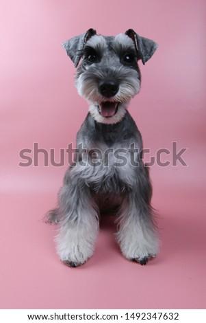 Miniature Schnauzers , Schnauzer Dog Grooming #1492347632