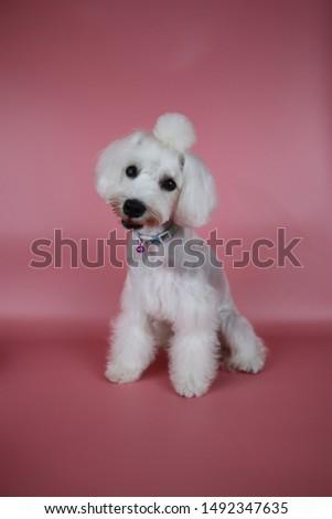 Miniature Schnauzers , Schnauzer Dog Grooming #1492347635