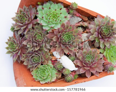 Miniature succulent plants (Jovibarba Hirta) displayed in a broken pot isolated on a white background