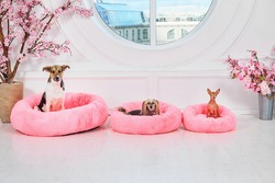 Miniature toy Terrier, Chinese crested and mongrel purebred dogs sitting on pink cushions in modern light apartment with blooming pink sakura flowers and round window