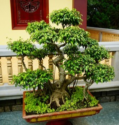 Miniature tree or Bonsai tree at the Linh An pagoda is located in Nam Ban town, Dalat, Vietnam