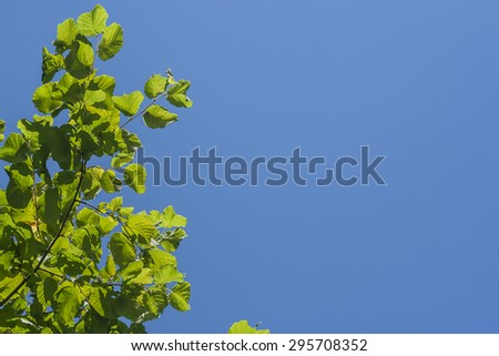 minimal nature background with hazel green leaves and intense bl