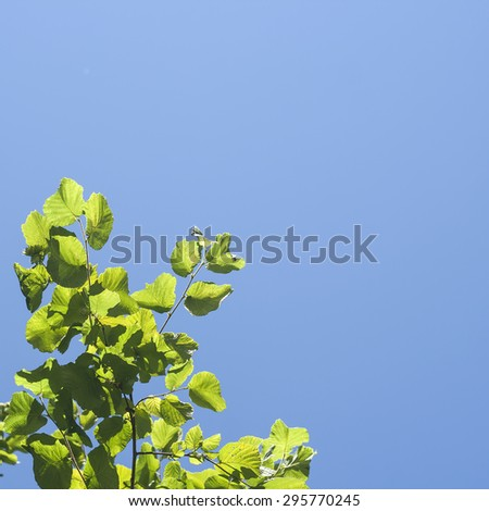 minimal nature background with hazel green leaves and intense blue sky