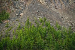 Minimalist alpine landscape with high mountain wall with green forest on rocks. Scree above coniferous forest on steep mountainside. Scenic highland scenery with talus on steep slope of high mountain.