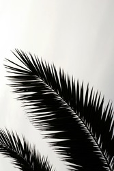 Minimalist background with black silhouette of palm branch on the grayish background and copy space