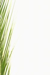 Minimalist composition of verdant lush green areca palm tree leaves on white background in studio