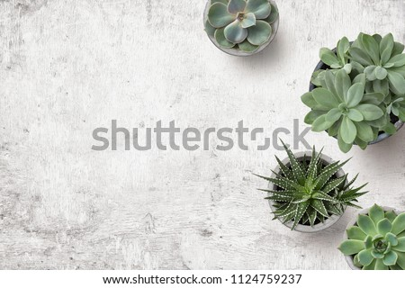 minimalist urban gardening or stylish interior background with various succulents on a painted white wooden desk - top view, copyspace