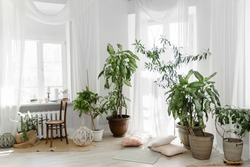 Minimalist white Scandinavian interior of living room with tuft root plants, rugs on the wooden floor and small throw pillows, transparent drapery on floor-to-ceiling windows.