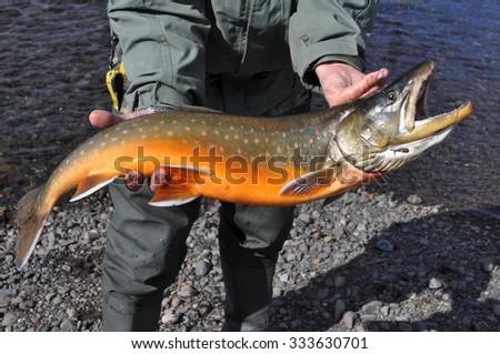 Mining fishing - Arctic char. Photograph of freshly caught salmon.