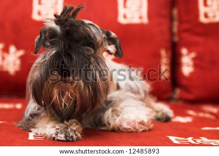 minischnauzer dog laying on red sofa