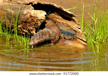 Mink eating a small fish.