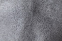 Mink fur texture of light, gray color close-up background. Grey mink fur coat texture background. Animal fur texture. Gray natural short hair animal close up.