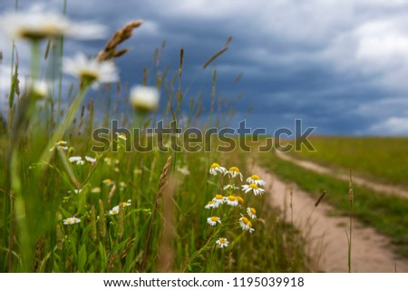 Minsk region / Belarus - July 4 2018 / hurricane in the field, wildflowers, bad weather in the field, the sky turned dark,chamomile in the wind, flowers in the rain, running from the hurricane