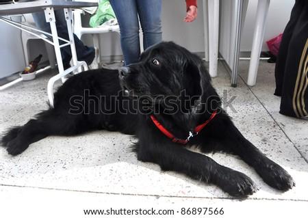 MINSK-SEPTEMBER 24: Big Sally is the biggest dog (85 kg) at the PETSHOW 2011, festival of dogs and cats on September 24, 2011 Minsk, Belarus