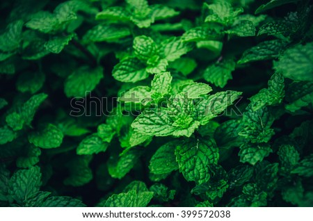 Mint Background green leaves.Mint herb leaves in Garden.