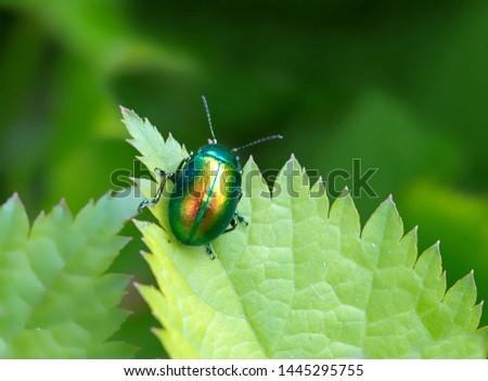 Mint Beetle. Small beetle, head, elytra shiny, shimmer in different colors. Top green body color is replaced by Golden or copper-red. Body length 5-6 mm. beetles the Adult beetles eat the leaves holes #1445295755