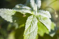 Mint covered with frost, close-up