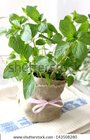 Mint herb growing in a pot
