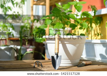Mint in a pot with garden tools prepared for planting on the balcony in natural conditions as a hobby of a business person against the background of many plants planted on a bright Sunny day