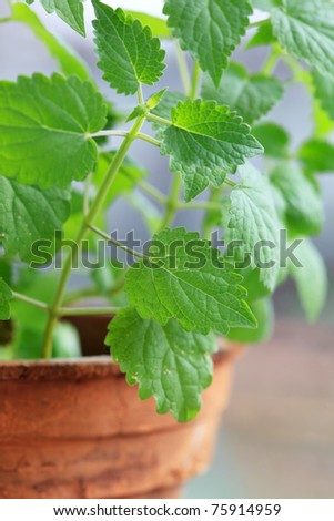 mint in the pot