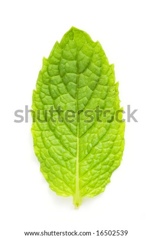 mint leaf macro isolated against white background