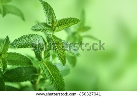 Mint leaves background. #650327041