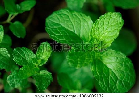 Mint leaves.Mint leaves.Mint leaves background.peppermint.leaves of mint. #1086005132