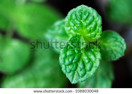 Mint leaves.Mint leaves.Mint leaves background.peppermint.leaves of mint. #1088030048