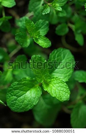 Mint leaves.Mint leaves.Mint leaves background.peppermint.leaves of mint. #1088030051