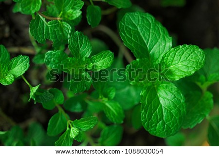 Mint leaves.Mint leaves.Mint leaves background.peppermint.leaves of mint. #1088030054