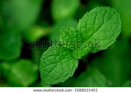 Mint leaves.Mint leaves.Mint leaves background.peppermint.leaves of mint. #1088031401