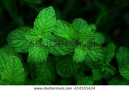 Mint leaves.Mint leaves.Mint leaves background.peppermint.leaves of mint  #614105624