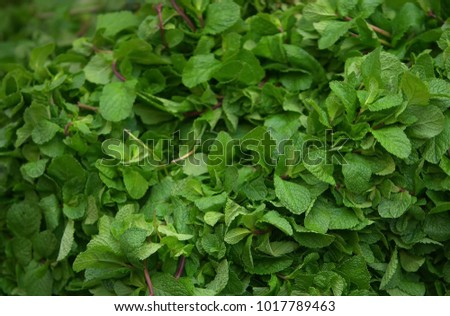 Mint leaves.Mint leaves.Mint leaves background.peppermint.leaves of mint on green background. #1017789463