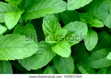 Mint leaves.Mint leaves.Mint leaves background.peppermint.leaves of mint on green background.Closeup of fresh mints leaves texture or abstract background. #420855364