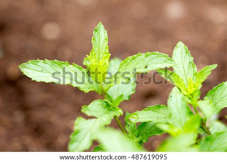Mint leaves.Mint leaves.Mint leaves background.peppermint.leaves of mint on green background / Mint leaves with a rain background. #487619095