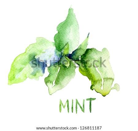 Mint leaves, watercolor illustration