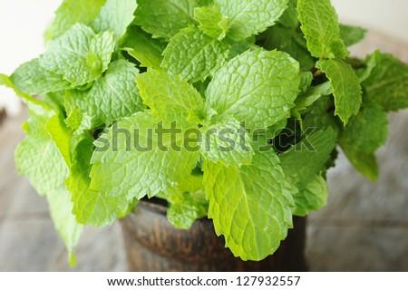 mint - mint leaves - herb
