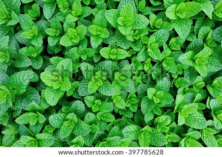 mint plant grow at vegetable garden #397785628