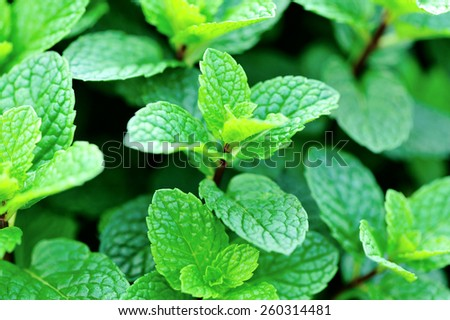 mint plant grown at vegetable garden