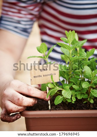 Mint plant in pot on urban garden #179696945