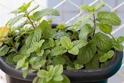 Mint Spearmint Leaves Green Nature Plant Menta Hortelã Folhas Verde Natureza