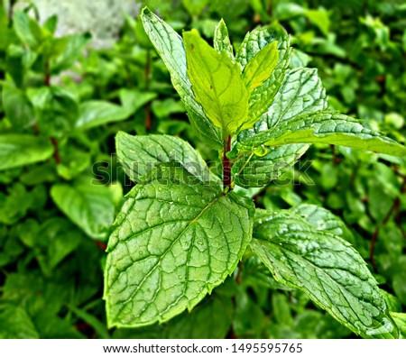 Mint Tree, Mint leaf, Mint #1495595765
