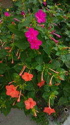Mirabilis fragrant, pink magenta & coral orange blooms, contrasting with dense, dark green foliage on a bushy plant, growing in a flower bed. Four o'clock magenta pink & coral colored flowers.